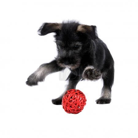 Mittelschnauzer puppy  isolated on white background is playing w