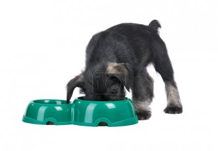 Mittelschnauzer puppy  isolated on white background eats from do