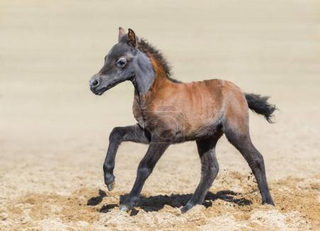 Bay foal is one month of birth. Breed is American miniature horse