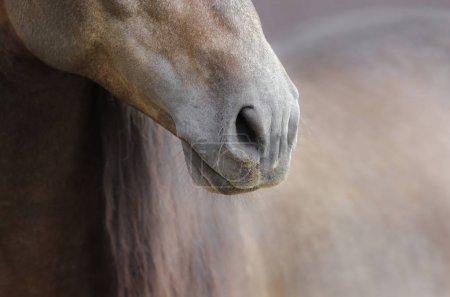 Photo pour Gros plan du nez du cheval sur fond nature aux couleurs pastel douces . - image libre de droit