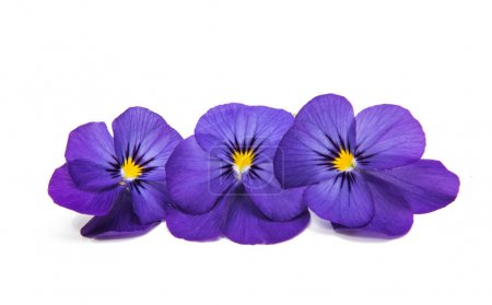 Pansies flowers isolated