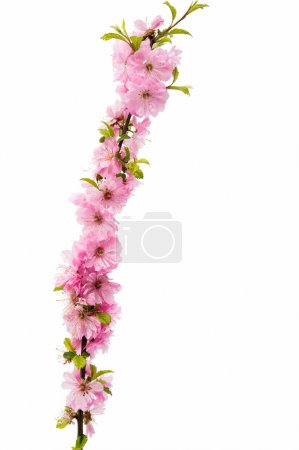 Blossoming branch of almond (PRUNUS TRILOBA)
