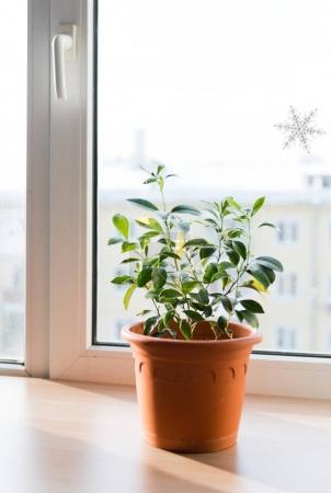 Small tree of calamondin in orange pot