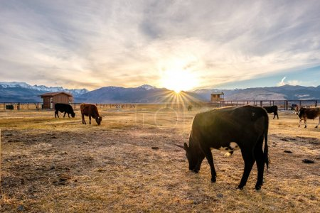 Cows in paddock during sunset