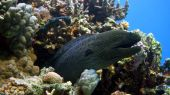 Murena on Coral Reef