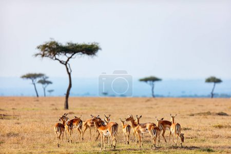 Group of impala antelopes