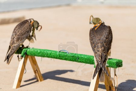 Peregrine falcons for sale