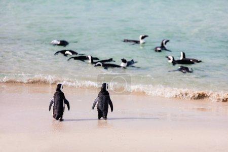 Photo pour Colonie de manchots africains à la plage de Boulders près du Cap en Afrique du Sud - image libre de droit
