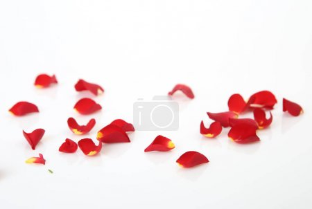 Photo for Rose petals on white background - Royalty Free Image