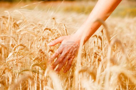 Picture of humans hand with wheat spikes