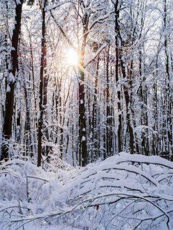 Photo for Picture of snowy trees with shining sun in forest during day - Royalty Free Image