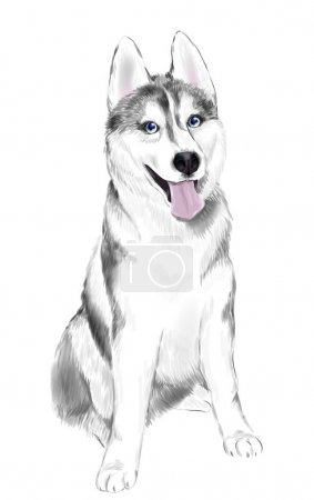 White And Gray Adult Siberian Husky Dog Or Sibirsky Husky