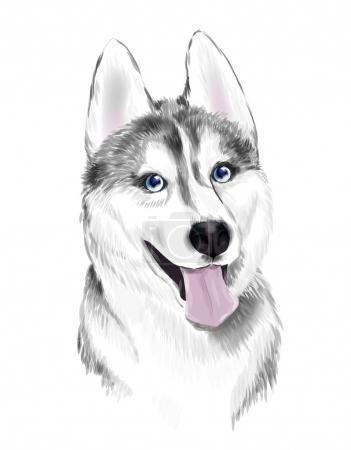 White And Gray Adult Siberian Husky Dog Or Sibirsky Husky With B