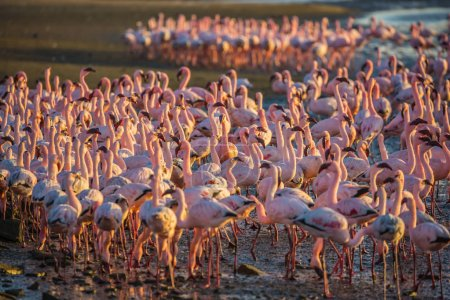Flock of pink flamingos in shallow waters