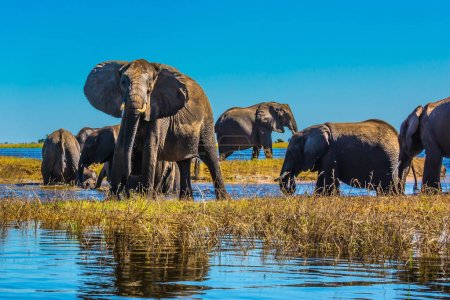 herd of elephants with calves on river