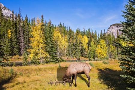Photo pour Cerf rouge avec des bois ramifiés broutant dans le parc de la vallée de la montagne Banff. Journée d'automne dans les Rocheuses canadiennes - image libre de droit