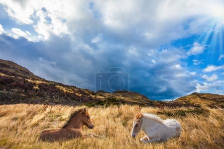 Horses resting in grass