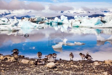 Photo pour La meute de cygnes islandais broutant sur la rive du lagon. Le lever du soleil illumine le glacier Vatnajokull et l'eau de la lagune de glace Jokulsarlon . - image libre de droit
