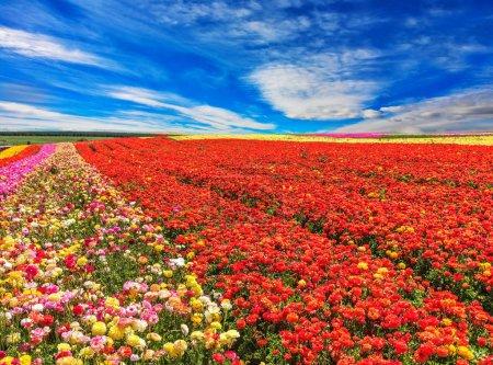 clouds over field of garden buttercups