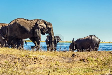 Elephants walking on river bank