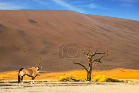 Oryx grazing in savannah in dried lake