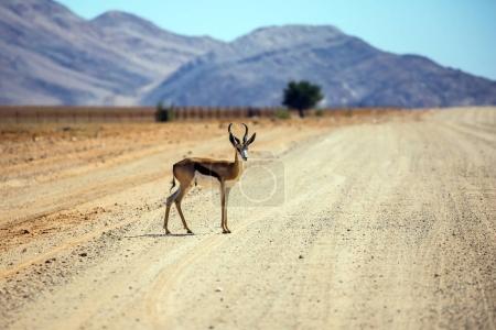 antelope grazing in the savannah