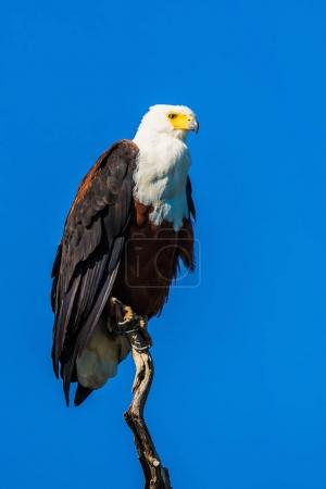 African fish eagle on tree