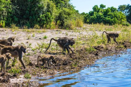 baboons at watering place