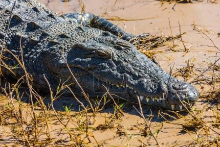Crocodile resting in Botswana