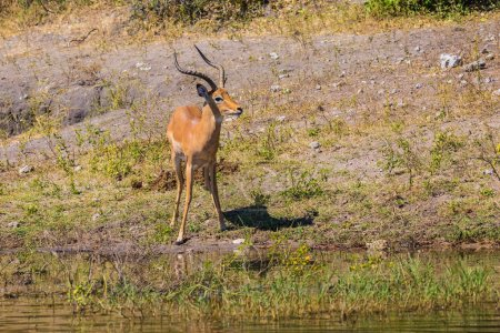 Impala in Okavango Delta