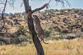 African leopard climbing on tree