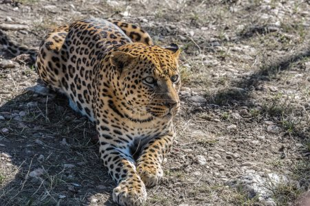 leopard resting after feeding