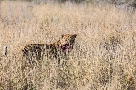 large African leopard