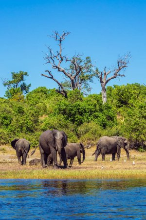 Herd of African elephants crossing river in shallow water. The concept of active and exotic tourism. Watering in the Okavango Delta. Chobe National Park in Botswana