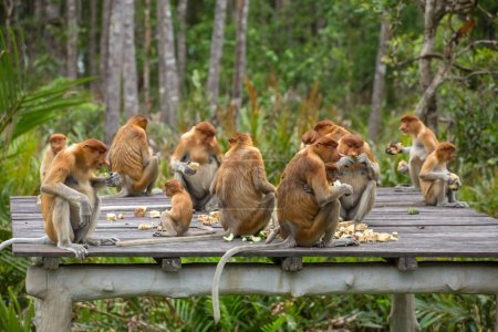 Group of Proboscis Monkeys in endemic of Borneo in...