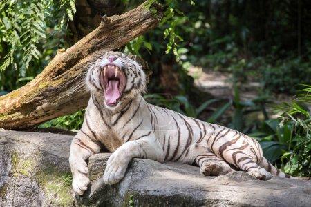 White male tiger yawns