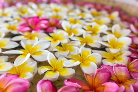 frangipani flowers floating on water