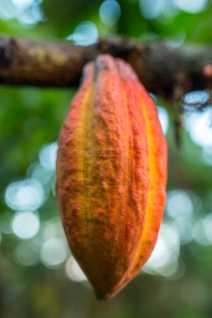 Cocoa fruit hanging on tree