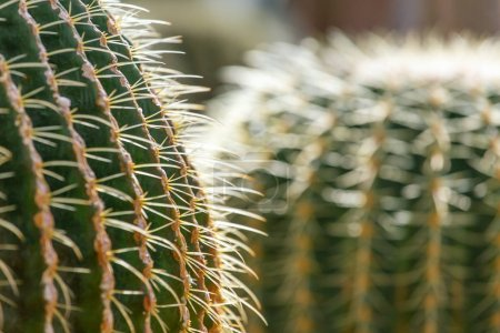 Fresh green cactuses with needles closeup