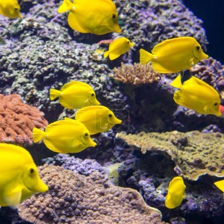 Yellow Tang fish in the aquarium