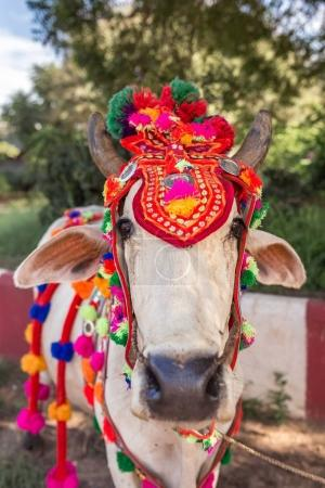 Cow in Bagan with traditional decorations, Myanmar