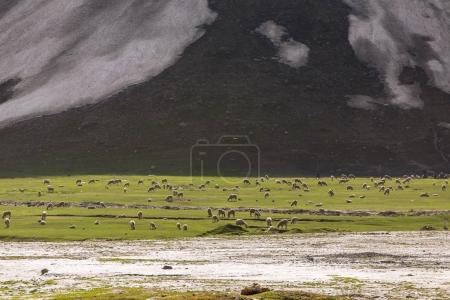 Flock of sheep eating grass at a valley in Ladakh, India