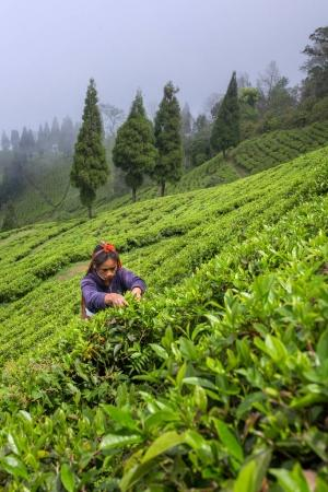 Sikkim, India - April 21, 2017: Indian woman is picking up the fresh tea leaves from tea plantation in Sikkim region, India