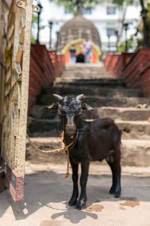 Holy sacrificial goat waits at the entrance to Hindu Kamakhya temple in Guwahati, Assam state, North East India.