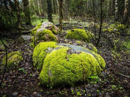 Photo pour Pierres de belle forêt recouvertes de mousse verte. - image libre de droit