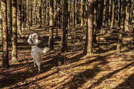 Tatra Shepherd Dog walking outdoor.