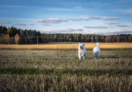 Two big white dogs are walking outdoor. Tatra Shepherd Dog.