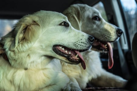 Two big white dogs transported by car. Tatra Shepherd Dog.