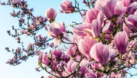 Магнолия цветы в весенний сезон