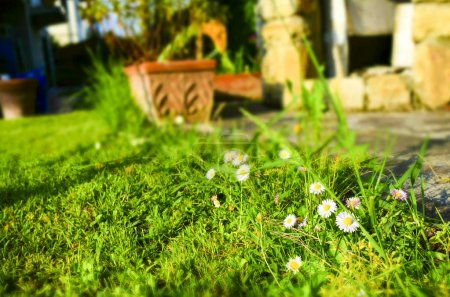 Beautiful white daisy flowers on the grass. Selective focus